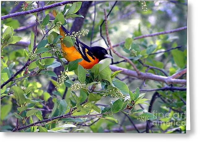 Baltimore Northern Oriole Greeting Card