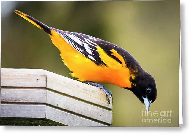 Greeting Card featuring the photograph Baltimore Oriole About To Jump by Ricky L Jones