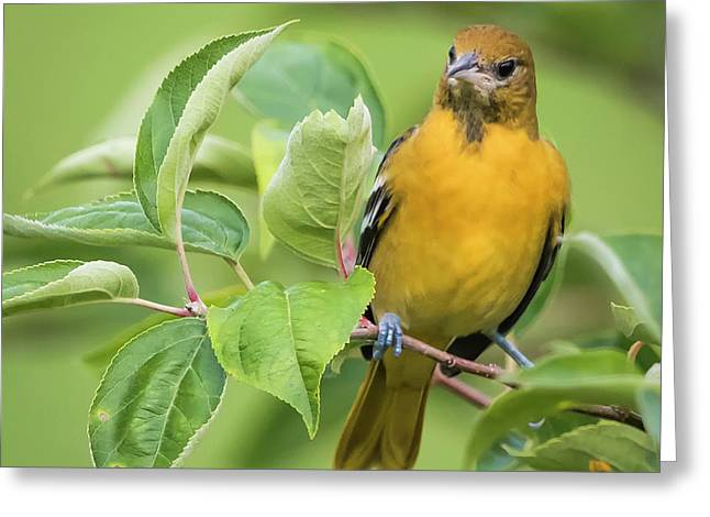 Baltimore Oriole Closeup Greeting Card by Ricky L Jones