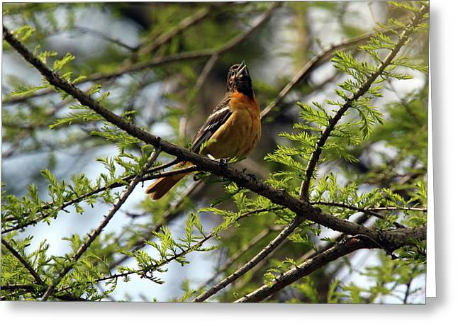 Baltimore Oriole Female Greeting Card by David Yunker