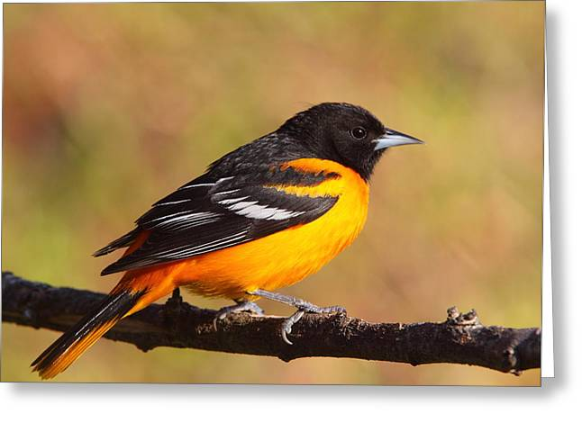Baltimore Oriole IIi Greeting Card