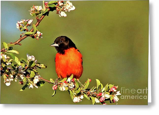 Baltimore Oriole Greeting Card by James F Towne