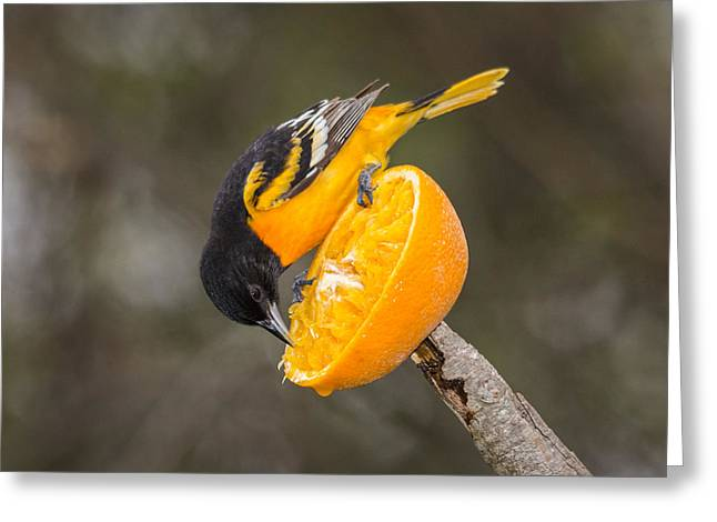 Baltimore Oriole On Orange Greeting Card