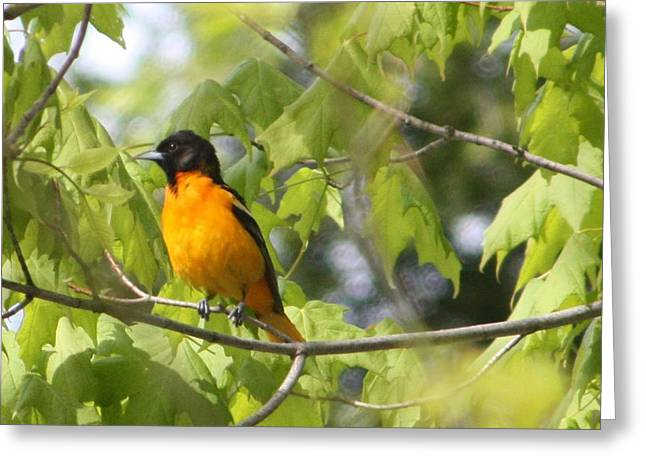 Baltimore Orioles  Greeting Card by Nancy TeWinkel Lauren