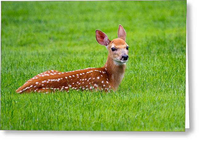 Bambi At Rest Greeting Card by Timothy McIntyre