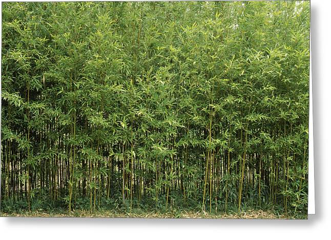 Bamboo Trees In A Forest, Fukuoka Greeting Card