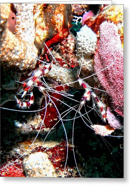 Banded Coral Shrimp - Caught In The Act Greeting Card by Amy McDaniel