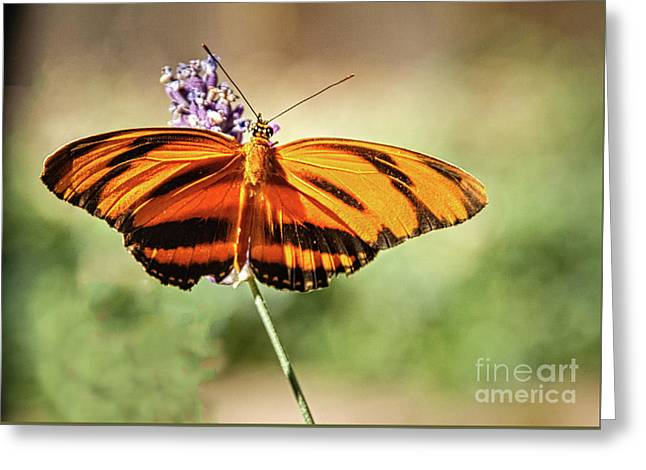 Banded Orange Heliconian Butterfly  Greeting Card