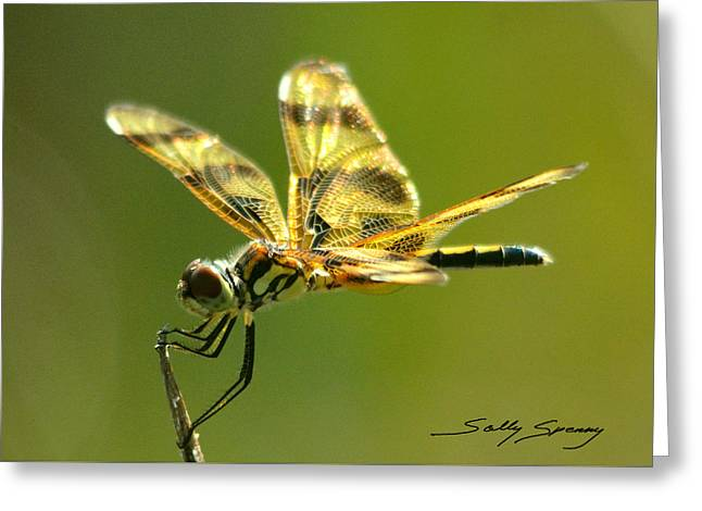 Banded Pennant, Female Greeting Card