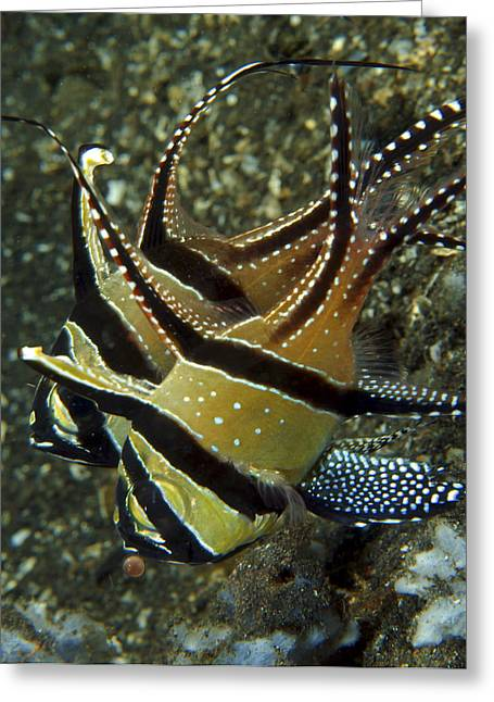 Zoology Greeting Cards - Banggai Cardinalfish With Egg, North Greeting Card by Mathieu Meur