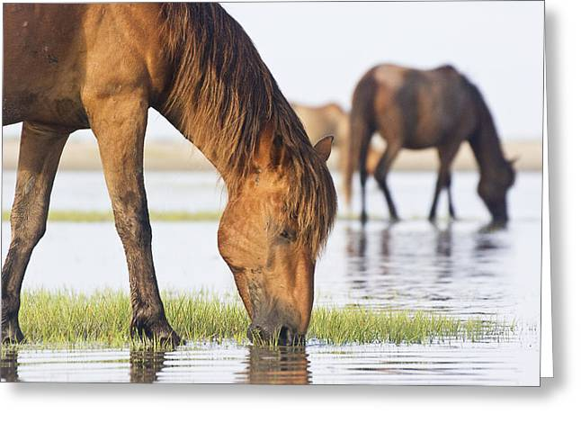 Banker Horses On Tidal Flat Greeting Card