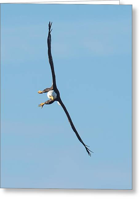 Banking Bald Eagle Greeting Card by Paul Freidlund