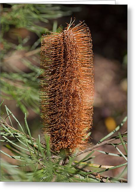 Banksia Greeting Card
