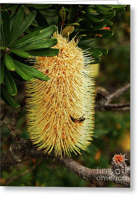 Banksia In Bloom 2 Greeting Card