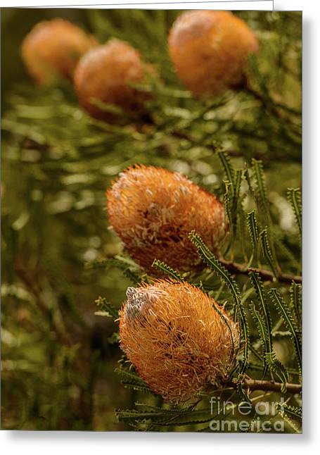 Greeting Card featuring the photograph Banksia by Werner Padarin