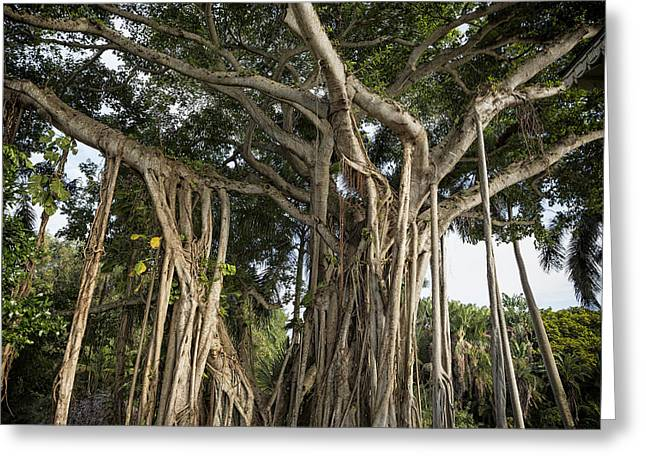 Greeting Card featuring the photograph Banyan Tree At Bonnet House by Belinda Greb