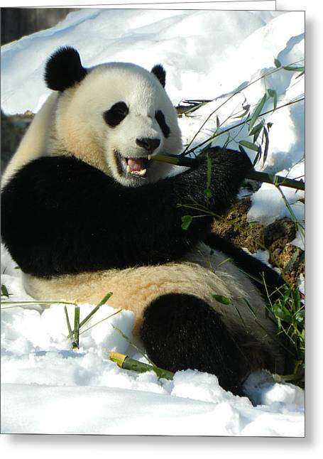 Bao Bao Sittin' In The Snow Taking A Bite Out Of Bamboo2 Greeting Card