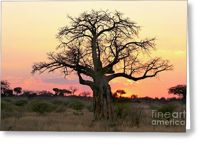 Baobab Tree At Sunset  Greeting Card