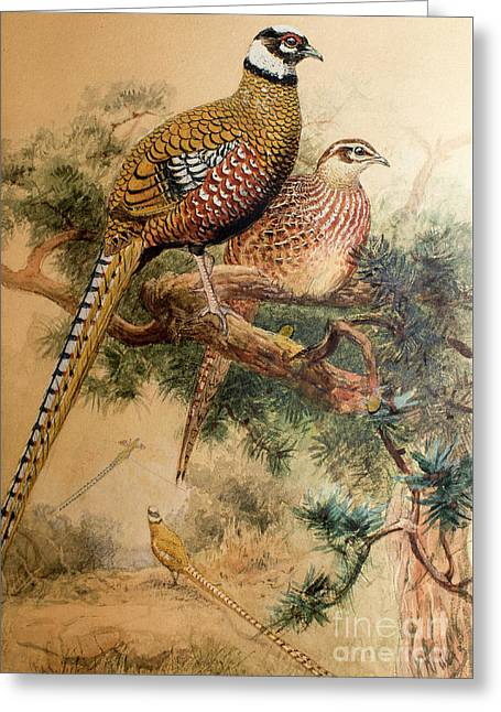 Bar-tailed Pheasant Greeting Card