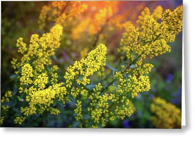 Barbarea Vulgaris - Yellow Rocket  Garden Flower Greeting Card by Jennifer Rondinelli Reilly - Fine Art Photography