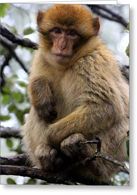Greeting Card featuring the photograph Barbary Ape by Ramona Johnston