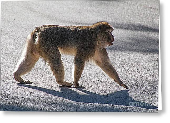 Barbary Macaque, Morocco Greeting Card by Jim Wright