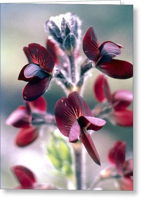 Barbed Thermopsis Or Black Pea Greeting Card