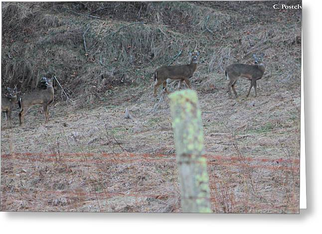 Barbwire And Whitetails Greeting Card by Carolyn Postelwait