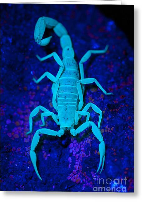 Bark Scorpion By Blacklight Greeting Card by Stuart Wilson