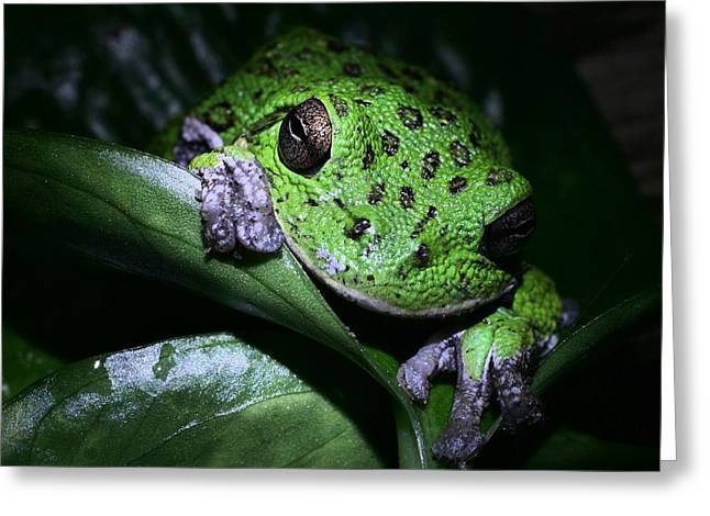Barking Treefrog Greeting Card by JC Findley