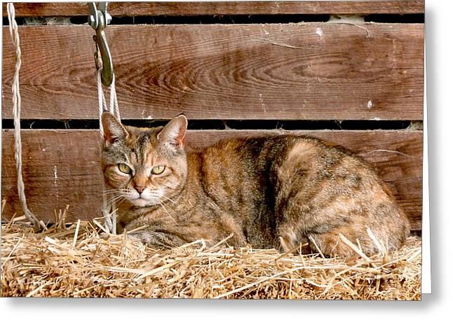 Barn Cat Greeting Card by Jason Freedman