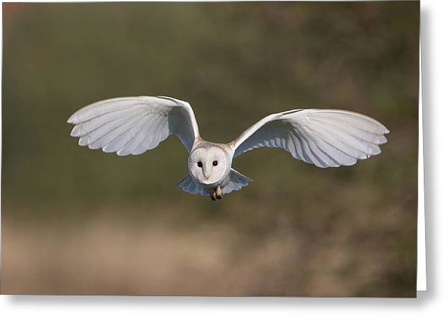 Barn Owl Approaching Greeting Card