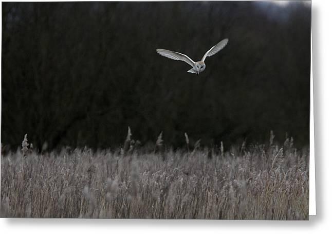 Barn Owl Hunting At Dusk Greeting Card