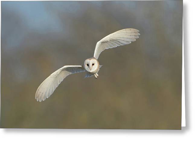 Barn Owl Hunting In Worcestershire Greeting Card