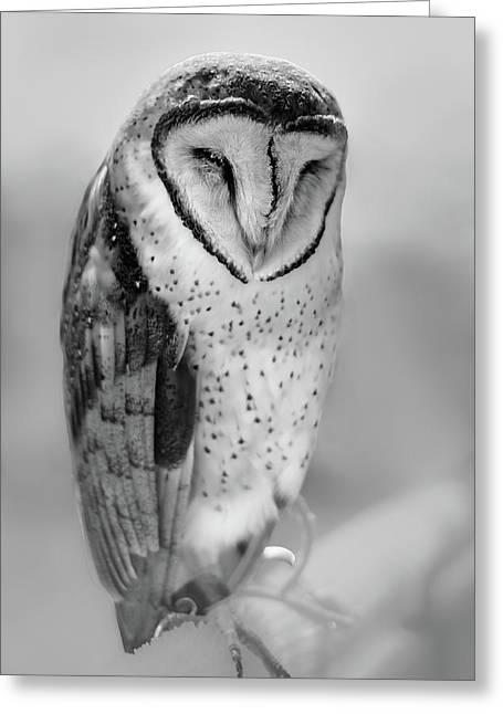 Barn Owl II Greeting Card