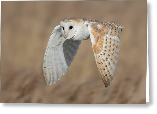 Barn Owl In Flight Greeting Card by Ian Hufton