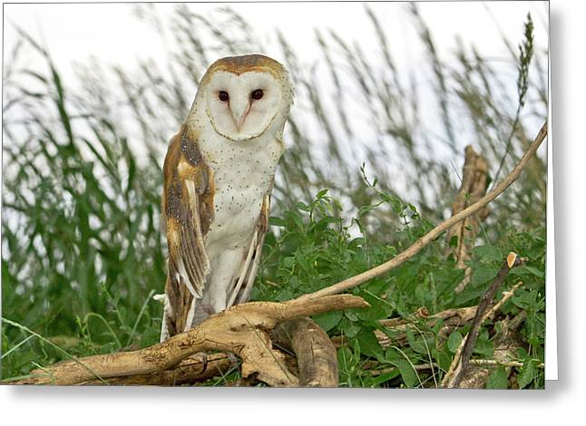 Owl Picture Greeting Cards - Barn Owl Greeting Card by James Steele