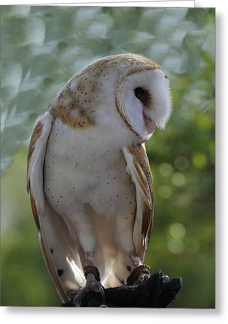 Barn Owl Greeting Card by Keith Lovejoy