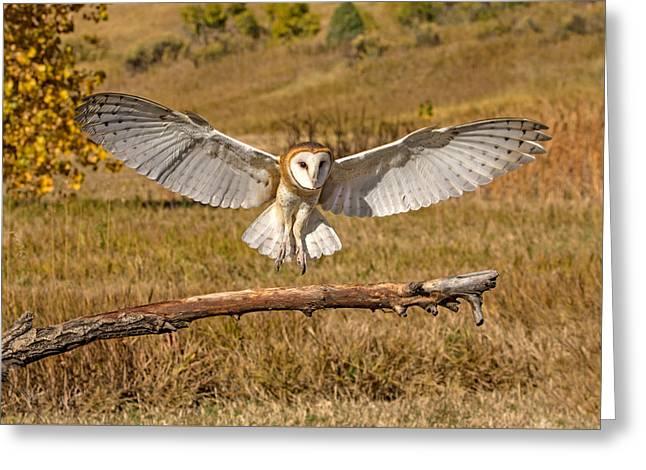 Barn Owl Landing Greeting Card