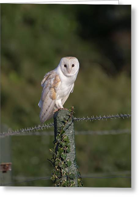 Barn Owl On Ivy Post Greeting Card