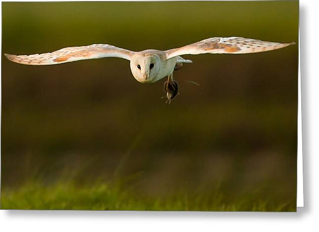 Barn Owl Greeting Card by Paul Neville