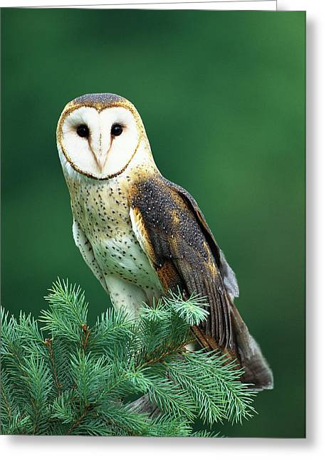 Barn Owl Tyto Alba Portrait, Hudson Greeting Card by Tom Vezo