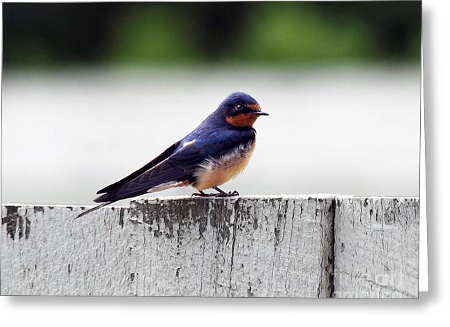 Barn Swallow At Fort Larned Greeting Card by Catherine Sherman