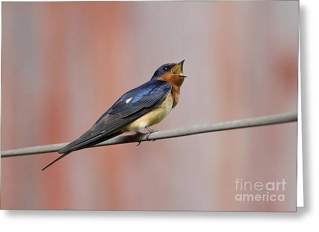 Barn Swallow Calling Greeting Card