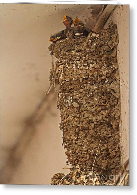Barn Swallow Nest Greeting Card by Neil Bowman/FLPA