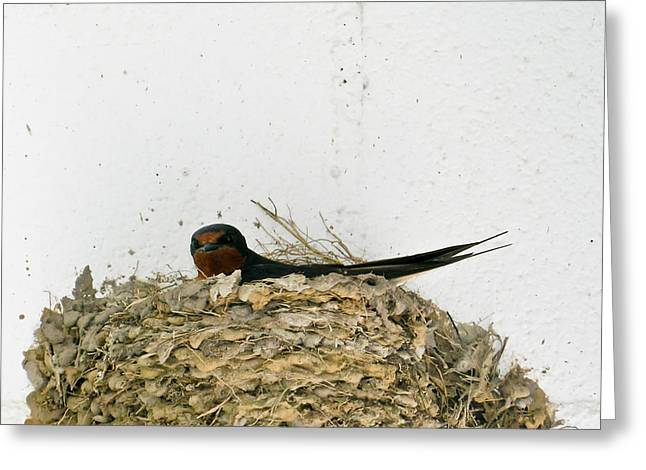 Barn Swallow Nesting Greeting Card by Douglas Barnett