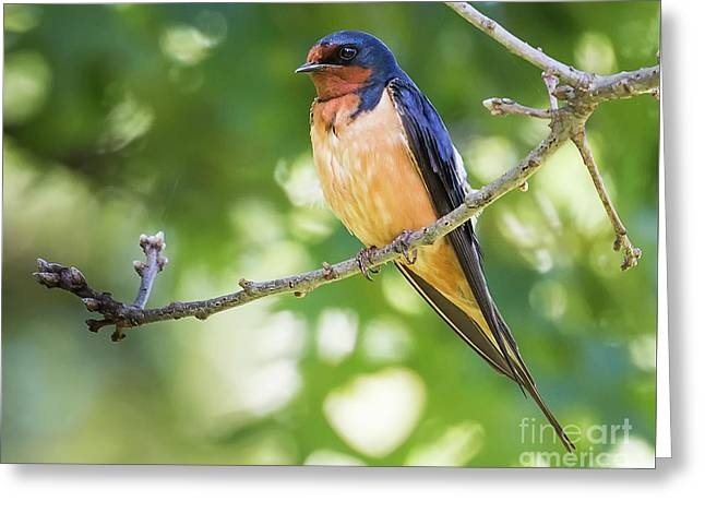 Barn Swallow  Greeting Card