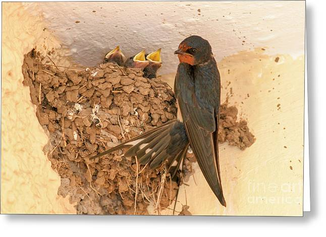 Barn Swallow With Hatchlings  Greeting Card