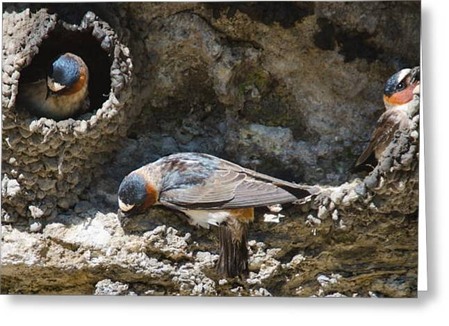 Barn Swallows Nests Greeting Card by Crystal Wightman