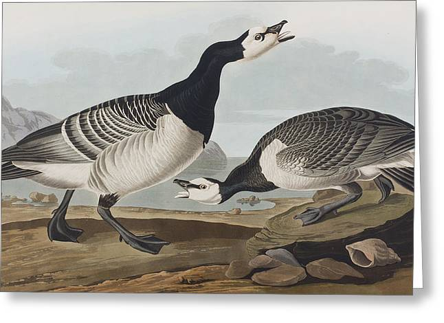 Barnacle Goose Greeting Card by John James Audubon